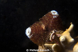 Christmas Tree Worm on Fire Coral at the Big Coral Knool ... by Michael Kovach 